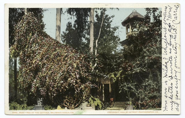 Rose Tree at Cottage, Baldwin's Ranch, Pasadena, Calif.