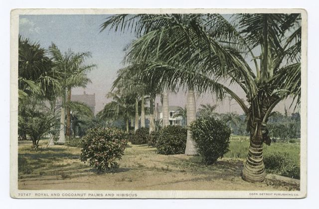 Royal and Coconut Palms, Hibiscus, Palm Beach, Fla.