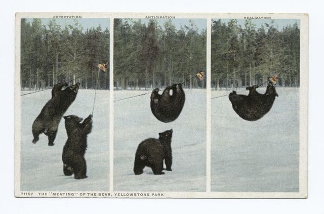 """The """"Meating"""" of the Bear, Yellowstone Park"""