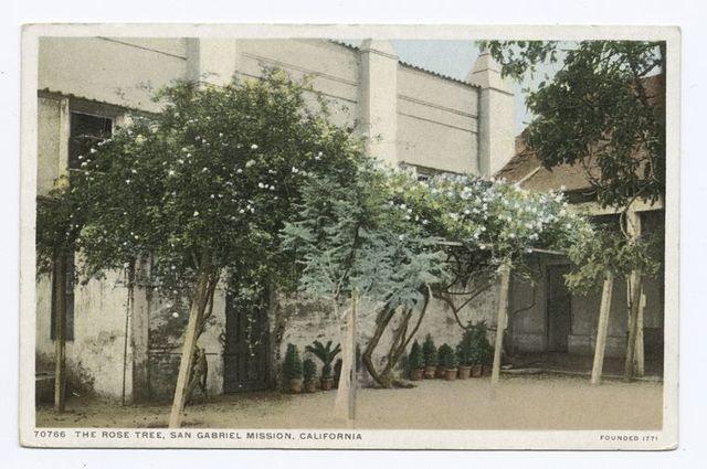 The Rose Tree, San Gabriel Mission, California