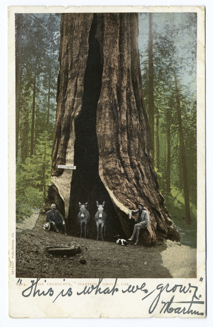 The Telescope, Mariposa Grove, Yosemite, Calif.