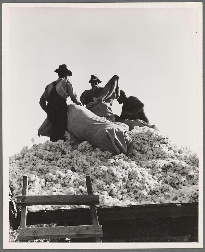 Loading cotton. Southern San Joaquin Valley, California