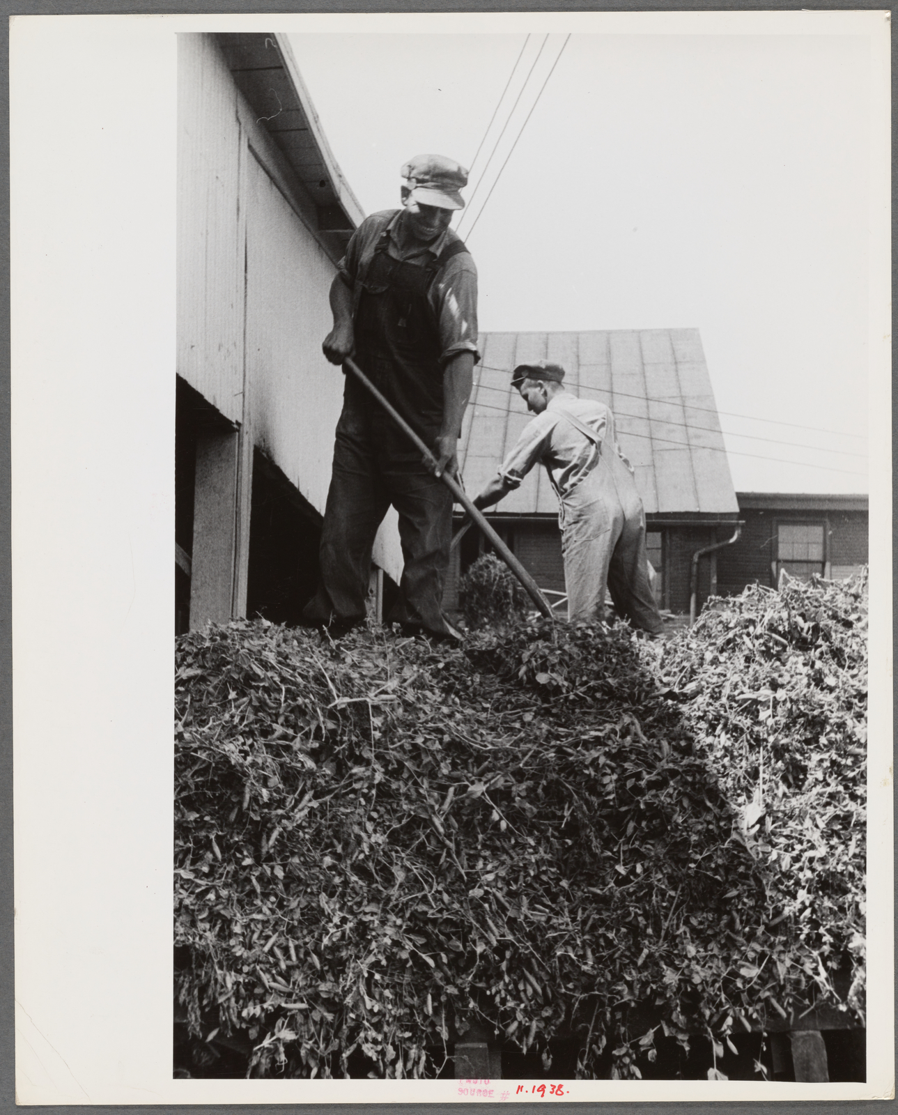 """""""At a pea vinery,"""" central Ohio"""
