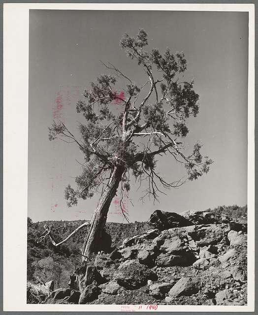 Western Juniper growing in Carrizo Creek Valley. Navajo County, Arizona