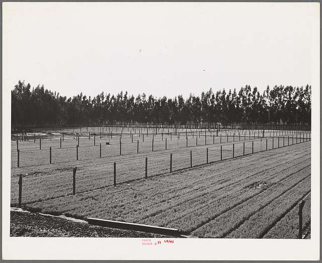 Salinas, California. Intercontinental Rubber Producers. Guayule seedlings in the nursery. Elevated irrigation pipes are installed throughout. There are approximately 70,000 seedlings to the acre in the nursery