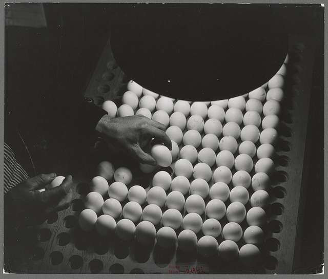 Petaluma, Sonoma County, California. Inspecting pedigreed eggs under a blue light to examine the texture and detect cracks. These eggs are produced for breeding purposes and worth at least one dollar each