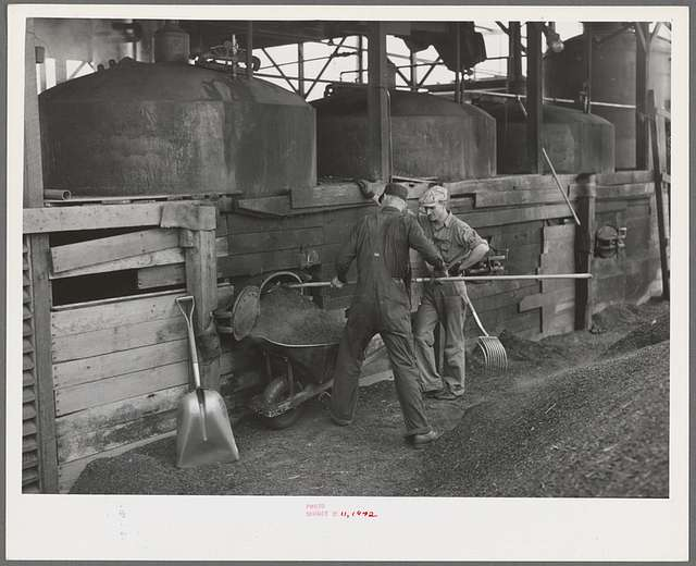 """Shoveling out pomace from tanks where the """"soap"""" oil has been extracted by means of a solvent. This pomace has some value as a fertilizer. About five percent of the total oil content of olives is """"soap"""" oil. Strathmore, California"""