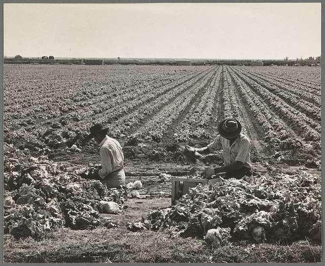 Yuma County, Arizona. Sorting and grading lettuce in the field