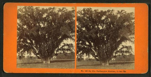 Big elm, Northampton Meadow, 31 feet cir.