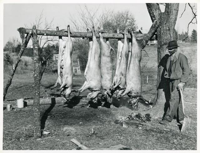 Hog killing on Milton Puryeur place; He is a Negro owner of five acres of land; Rural Route No. 1, Box 59, Dennison, Halifax County, Virginia; This is six miles south [on Highway No. 501] of South Boston; He used to grow tobacco and cotton but now just a subsistence living; These hogs belong to a neighbor landowner; He burns old shoes and pieces of leather near the heads of the slaughtered hogs while they are hanging to keep the flies away, Nov. 1939.
