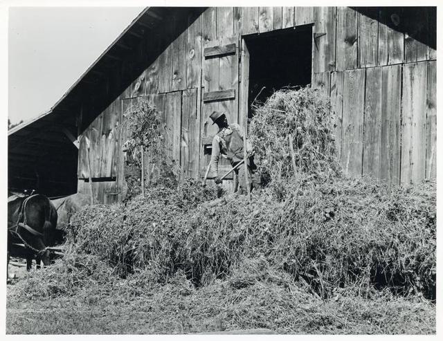 Loading hay into barn on tobacco farm of A. B. Douglas, Blairs, Virginia - Pittsylvania County, Sept. 1939.