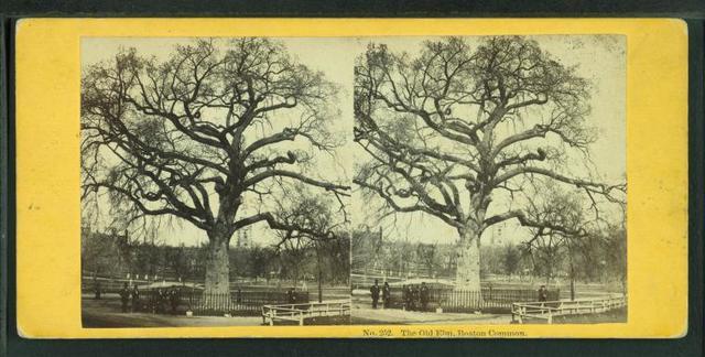 The old elm, Boston Common.