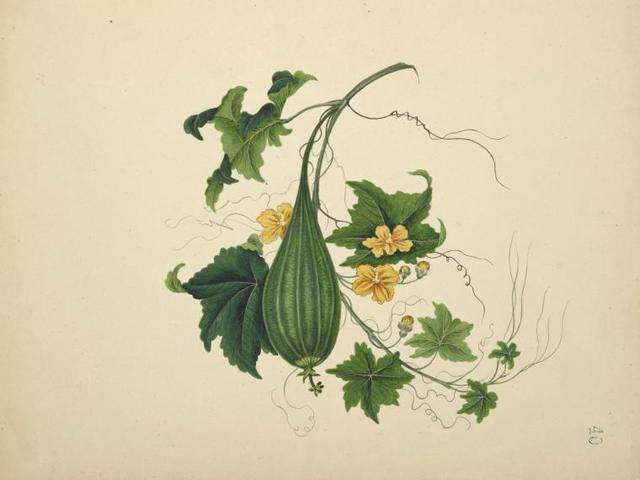 Small green ribbed gourd, yellow flowers.