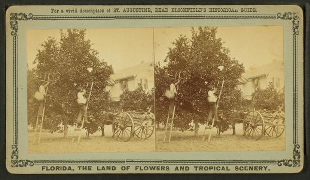 Gathering oranges at Dr. Anderson's grove.