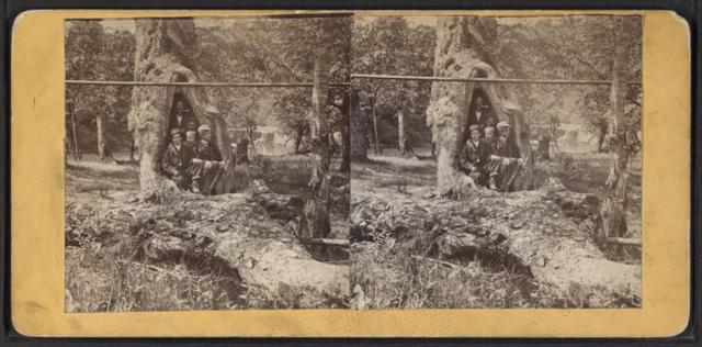 Hollow sycamore, Oil Creek. [Group portrait of men and boys in the hollow bole of a tree.]