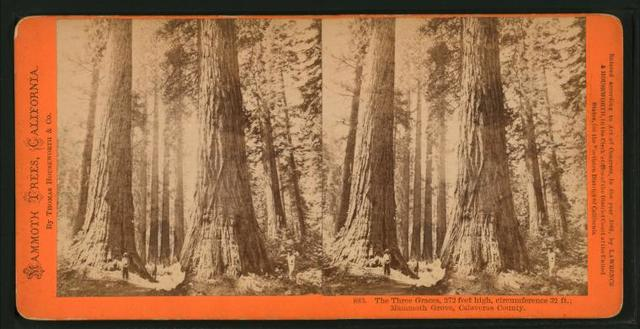 The Three Graces, 272 feet high, circumference 32 feet, Mammoth Grove, Calaveras County.