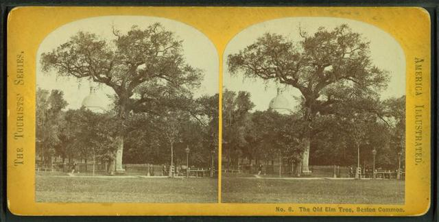 The old elm tree, Boston Common.