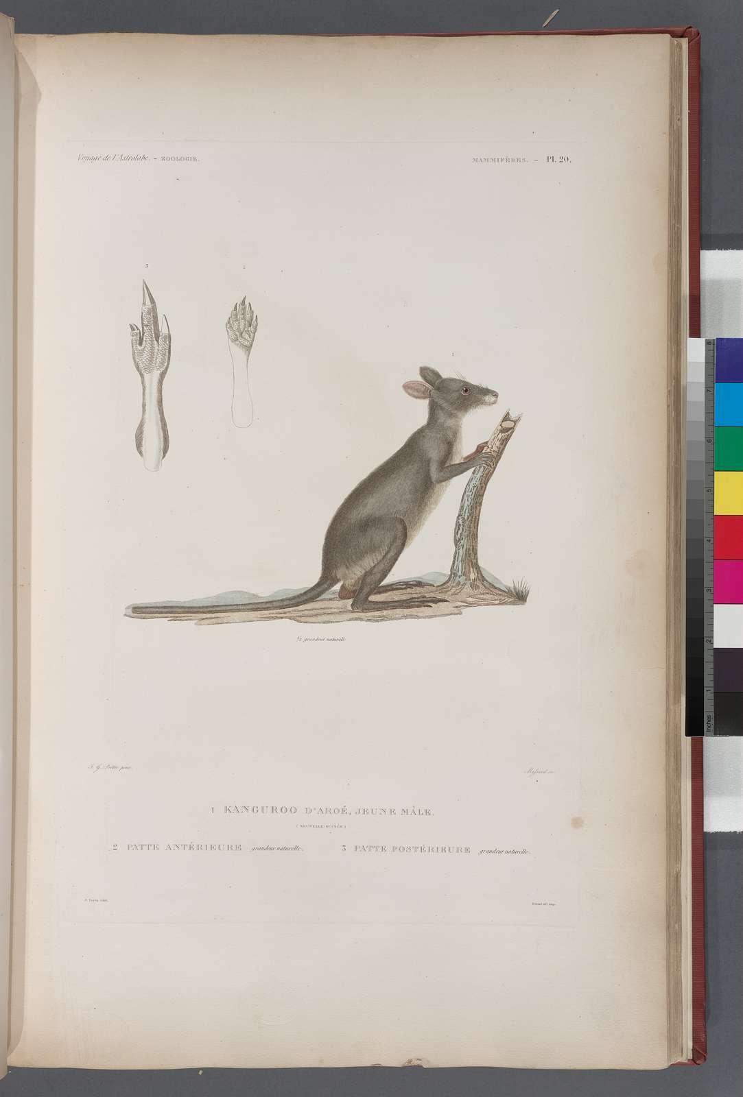 Mammifères: 1. Kanguroo d' aroe, jeune mâle. (Nouvelle-Guine); 2. Patte Antériwure, grandeur naturelle; 3. Patte postérieure, grandeur naturelle.